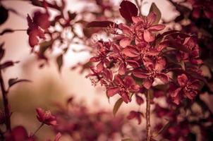 pommier malus domestica fleurit au printemps variété redevance photo