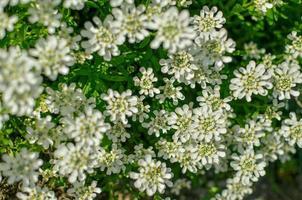 Iberis saxatilis amara ou amer candytuft de nombreuses fleurs blanches photo