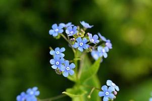 petites fleurs bleu clair photo