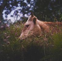 Portrait de vache brune dans le pré photo