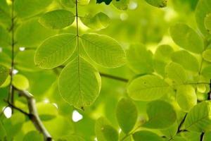 les feuilles des arbres verts au printemps photo