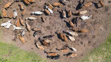 vue aérienne des vaches vue depuis le vol du drone au-dessus des pâturages à la campagne photo