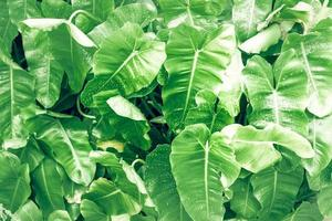 philodendron feuille grand feuillage vert photo