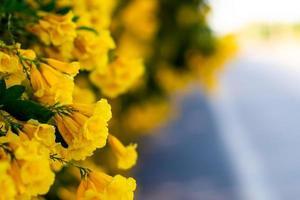 fleurs de fleurs jaunes sur la route beau fond de nature flou photo