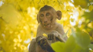 Portrait bébé macaque sur un arbre de fistule de cassia photo