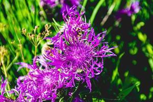 gros plan de bleuet violet photo