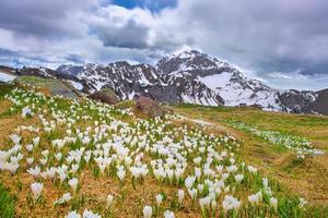 les crocus fleurissent au printemps lorsque la neige fond dans les montagnes photo