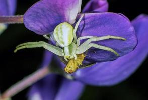 araignée crabe fleur photo