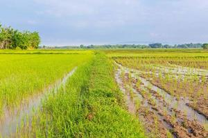 rizières et semis nouvellement plantés photo