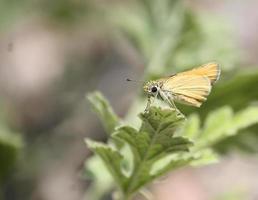Gros plan du moins skipper papillon avec de gros yeux d'insectes reposant sur une feuille verte photo
