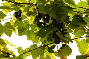 raisins à la fin de l'été photo