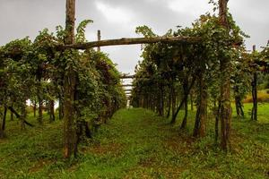 vignes à la fin de l'été photo