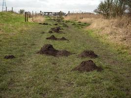 de nombreuses taupinières dans un chemin de campagne herbeux photo
