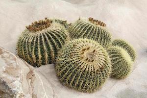 plante de cactus sur terre sablonneuse photo