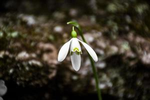 gros plan de fleur de perce-neige photo