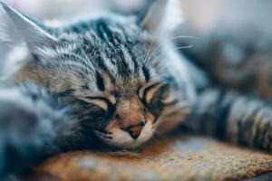 chat moelleux endormi photo