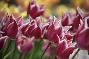 tulipes colorées dans un patch de fleurs dans un jardin au printemps photo