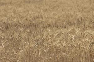 fond d'écran de blé de champ de seigle photo