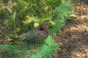 le jeune merle est pris dans un filet dans un champ de fraises photo