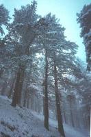 glace sur les pins de la montagne en hiver photo
