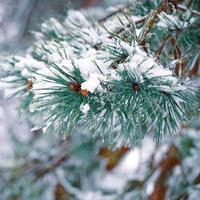 neige sur les feuilles de pin photo