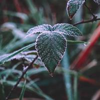 feuilles vertes gelées en hiver photo