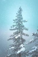 neige sur les pins dans la forêt photo