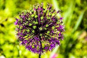 gros plan de fleur d'allium photo