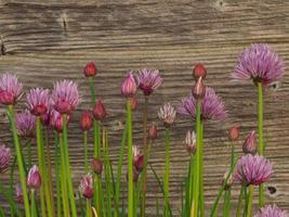Ciboulette en fleurs à côté d'une clôture de jardin en bois photo