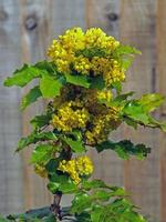 fleurs jaunes et feuilles vertes sur un buisson de houx photo