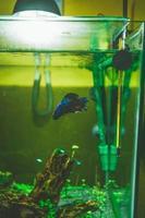 Poisson combattant siamois betta splendens dans un aquarium photo