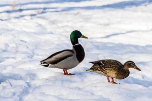 canards sauvages en hiver sur fond de neige un troupeau cherche de la nourriture photo