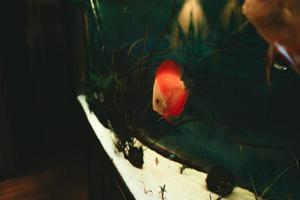 discus de poissons exotiques symphysodon, dans un aquarium photo