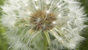 fleur de pissenlit jaune macro avec espace de copie et fuite de lumière du soleil. stock photo. photo