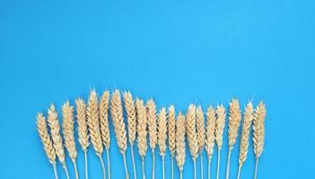 épillets de blé sur fond bleu. simple mise à plat avec espace de copie. stock photo. photo