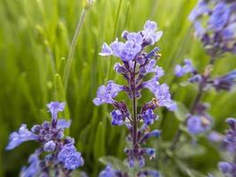 fleurs de lavande. stock photo. photo