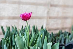 tulipe rose sur un parterre de fleurs dans le jardin. printemps. épanouissement. photo