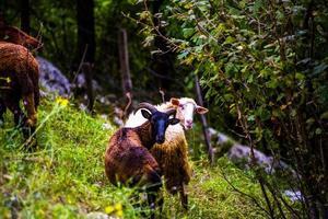 chèvres sur une colline photo