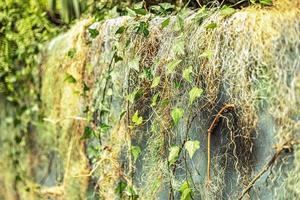 fond d'un mur de béton dans le jardin, recouvert de lierre. photo