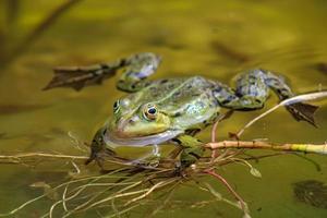 grenouille sur un étang local au printemps photo