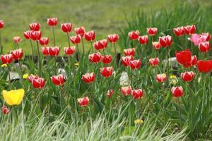 les tulipes rouge vif fleurissent au printemps photo
