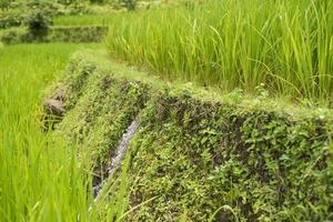 rizières en terrasses vertes aux philippines photo
