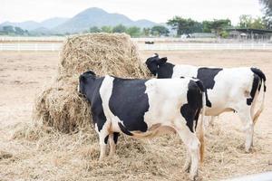 vaches paissant sur le terrain photo