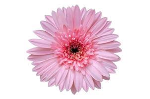 fleur rose isoler fond blanc photo