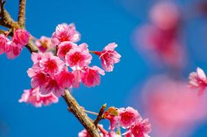 sakura fond bleu angkhang chiang mai thaïlande photo