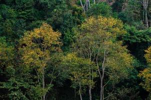 Arbre à feuilles jaunes printemps vert à la ferme de thé ferme de thé biologique 2000 doi ang khang chiang mai thaïlande photo