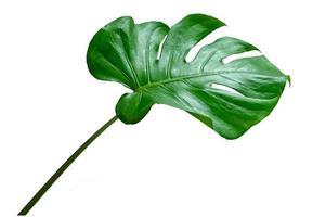 feuilles de monstera avec isolat sur fond blanc feuilles sur blanc photo