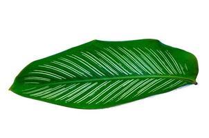 feuilles calathea ornata pin stripe fond blanc isoler photo
