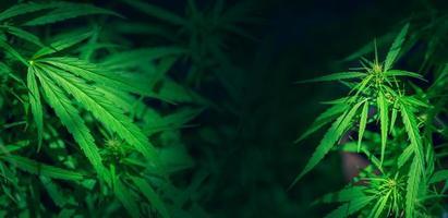 feuille de chanvre vert marijuana fond folhas de maconha cannabis photo