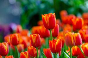 les champs de tulipes jaunes rouges fleurissent densément photo